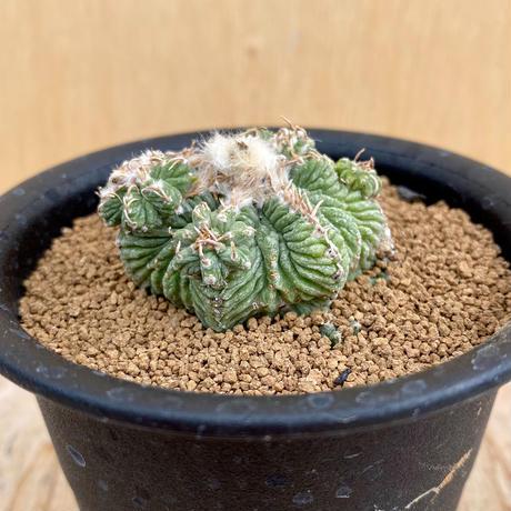 107、Aztekium 花籠(実)
