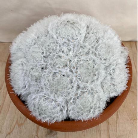 5、Mammillaria 羽衣白星