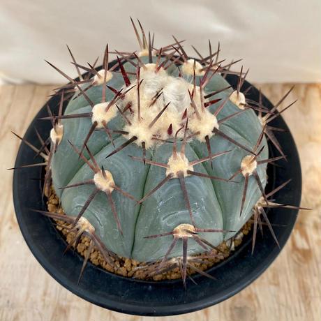113、Echinocactus 尖紅丸(実)