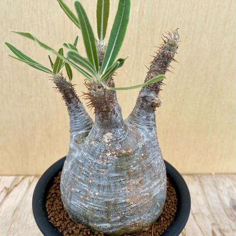 59、Pachypodium グラキリス