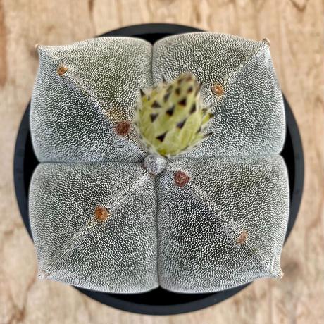 116、Astrophytum 特良ストロンギ(実)