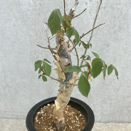 72、Commiphora holtziana