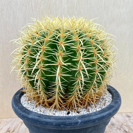 4、Echinocactus 強刺金鯱