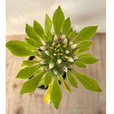 60、Euphorbia グエンテリー