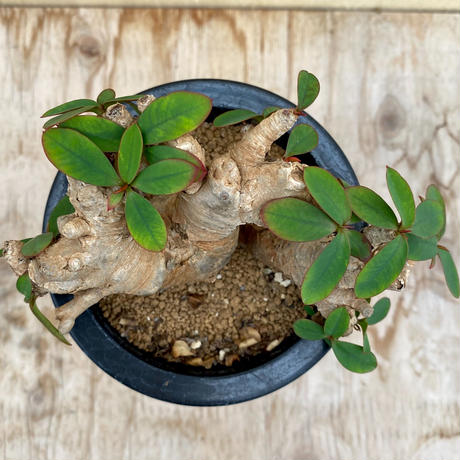 160、Euphorbia itemensis