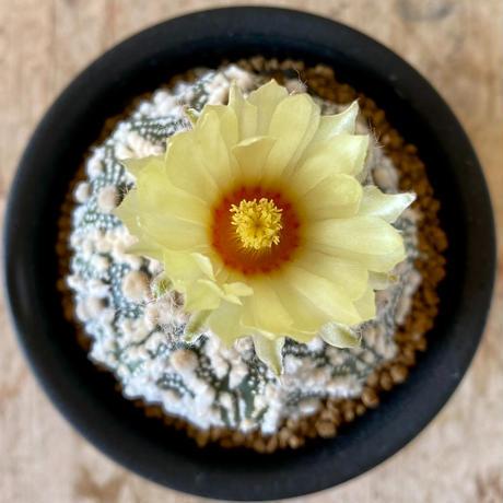22、Astrophytum 特殊白点兜
