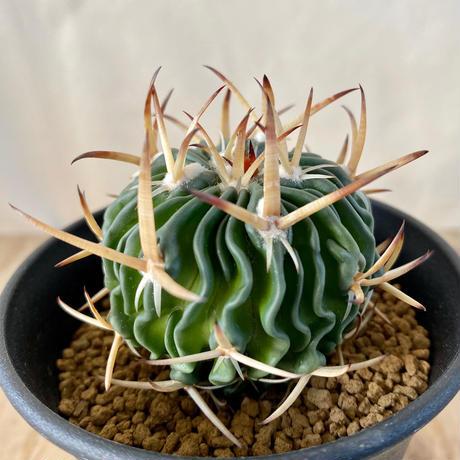 123、Echinofossulocactus 鶴鳳竜