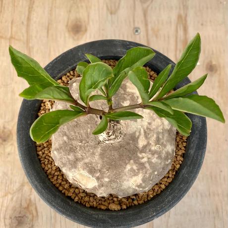 63、Brachystelma aff.plocamoides