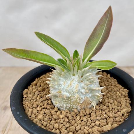 40、Pachypodium エニグマティクム(実)