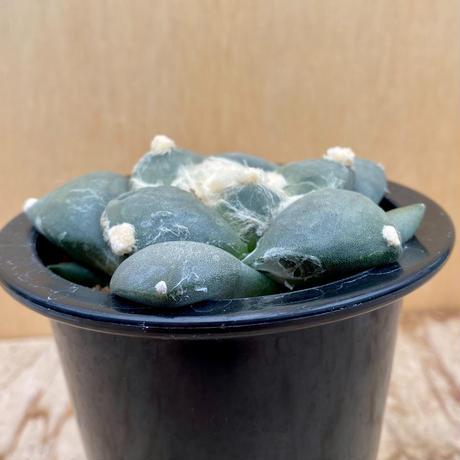 139、Ariocarpus ダルマ大疣青磁牡丹