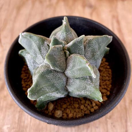 68、Astrophytum 亀甲ランポー玉(実)(特殊タイプ)