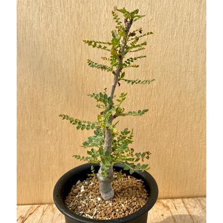 89、Boswellia neglecta
