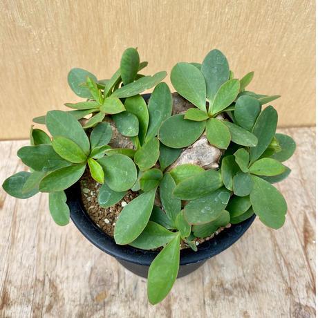 83、Euphorbia itremensis