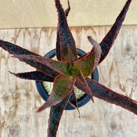 163、Aloe ドラキュラ