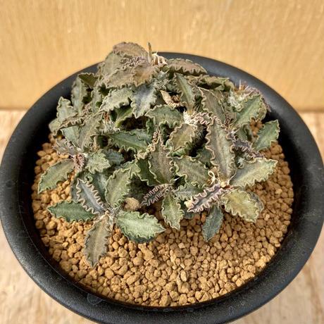 88、Euphorbia トゥレアレンシス