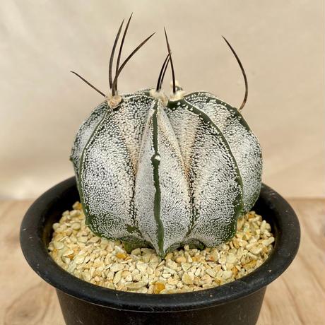 55、Astrophytum 特白瑞鳳玉(実)
