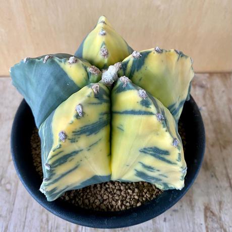 38、Astrophytum ヘキラン錦
