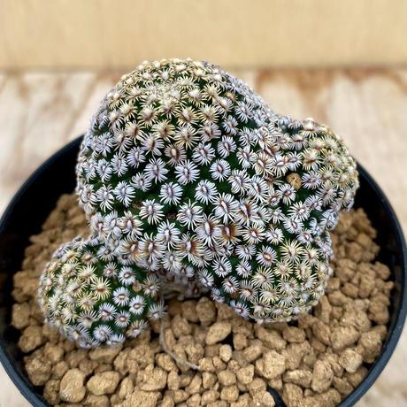 37、Mammillaria ヘルナンデシー(実)
