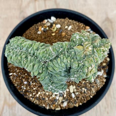 52、Strombocactus 菊水綴化(実・カット)