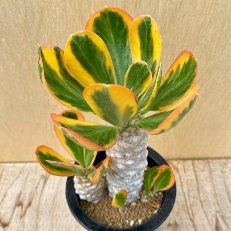 84、Euphorbia ポイソニー錦