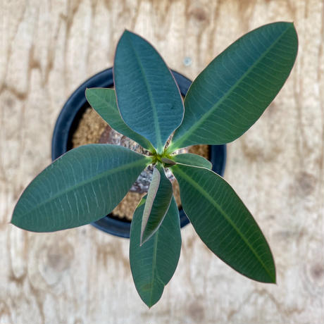 156、Euphorbia pachypodioides