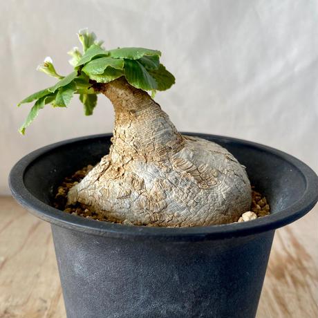 93、Euphorbia プリムリフォリア