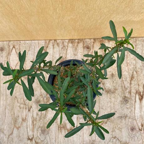 163、Euphorbia rossii