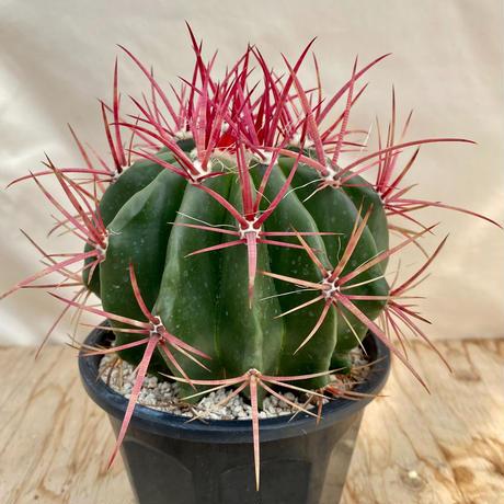 106、Ferocactus 赤鳳