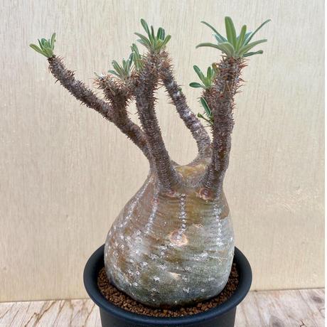 154、Pachypodium グラキリス