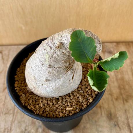 172、Euphorbia プリムリフォリア