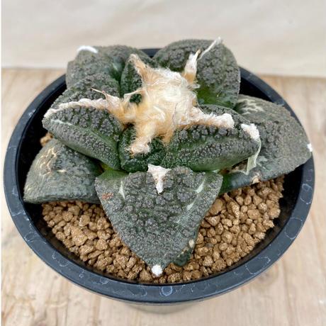 94、Ariocarpus 大疣亀甲牡丹(実)