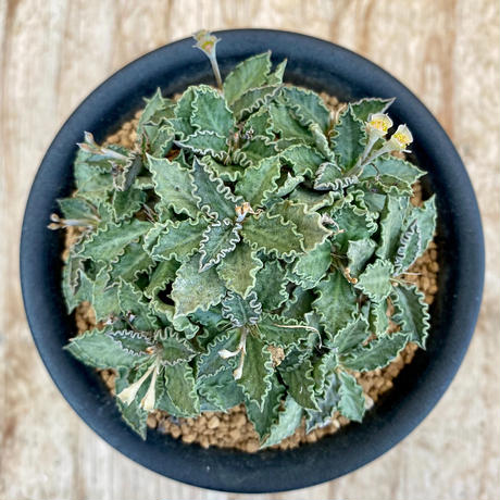 165、Euphorbia トゥレアレンシス