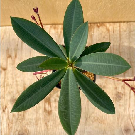 85、Euphorbia pachypodioides