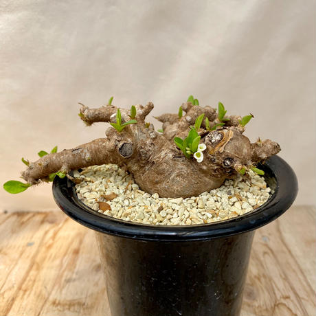 131、Euphorbia イントレメンシス