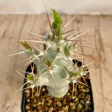 74、Pachypodium Saundersii
