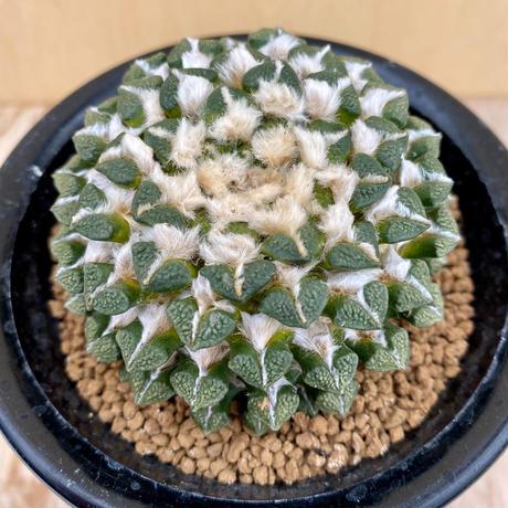 39、Ariocarpus 黒牡丹(実)
