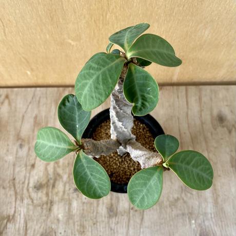65、Euphorbia aureoviridiflora