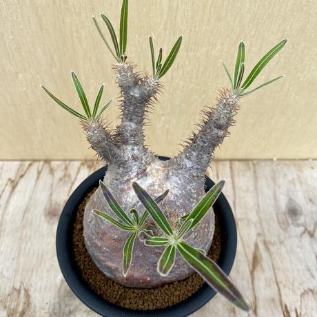 60、Pachypodium グラキリス