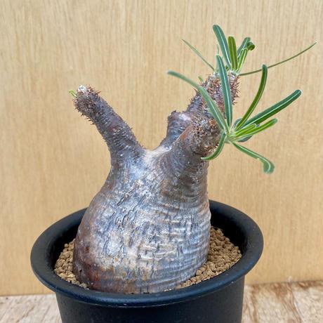 152、Pachypodium グラキリス
