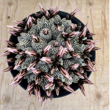 1、Pelecyphora バラ丸(自根)