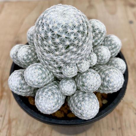 12、Mammillaria 姫春星(実)