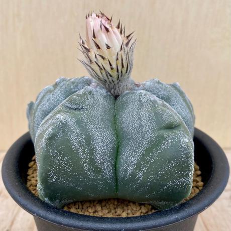 8、Astrophytum 亀甲ストロンギロゴナム
