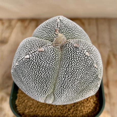 95、Astrophytum 三角恩塚ランポー(実)