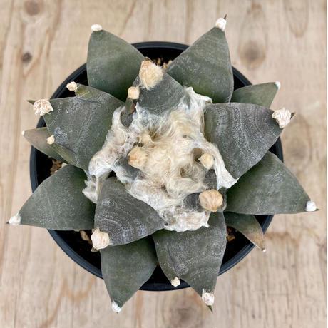 13、Ariocarpus 三ツ井疣花牡丹(実)