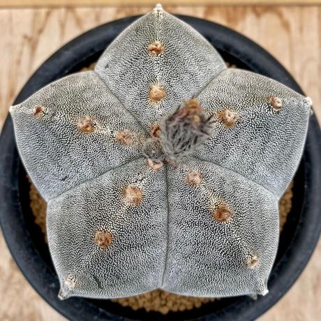 25、Astrophytum 特丸ランポー(実)