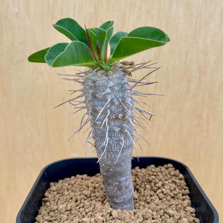 160、Euphorbia guillauminiana