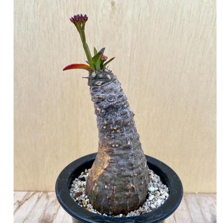 47、Euphorbia パキポディオイデス
