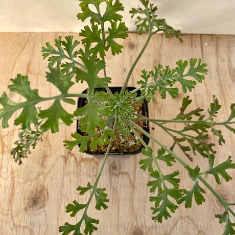 66、Pelargonium カルノーサム(実)