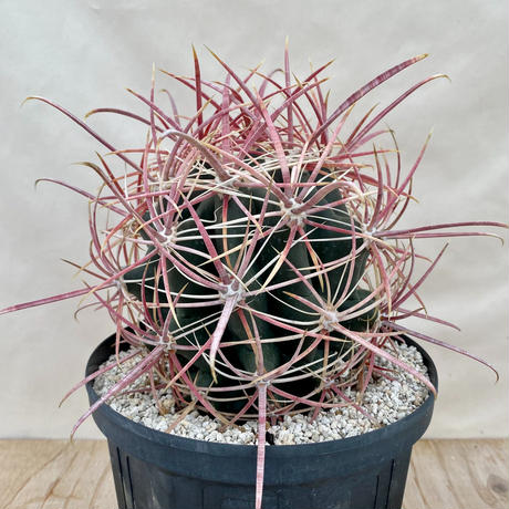 87、Ferocactus 鯱頭
