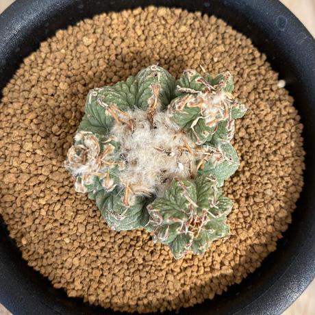 94、Aztekium 花籠(実)